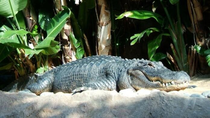 aligatoras_pixabay